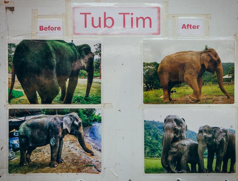 Painel do Elephant Nature Park mostrando o antes e o depois de Tub Tim, um elefante reabilitado (arquivo pessoal)
