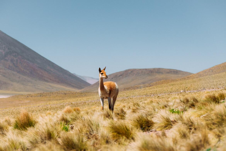 roteiro no Deserto do Atacama - vicunha