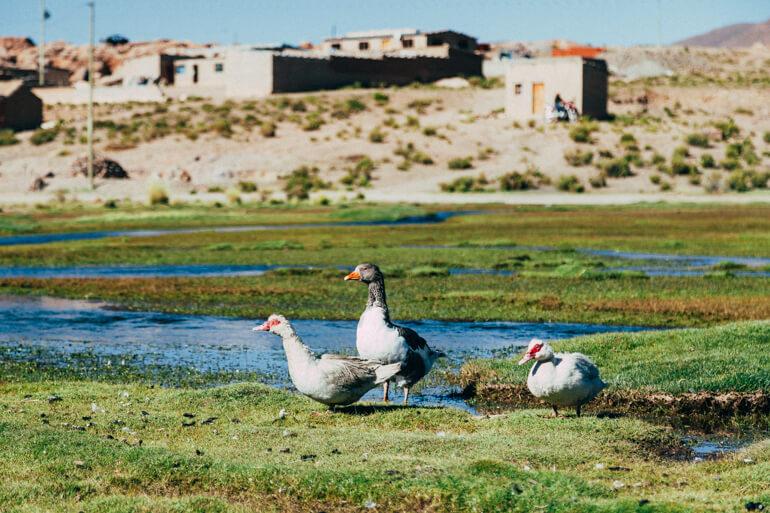 Patos e ganso em Villamar