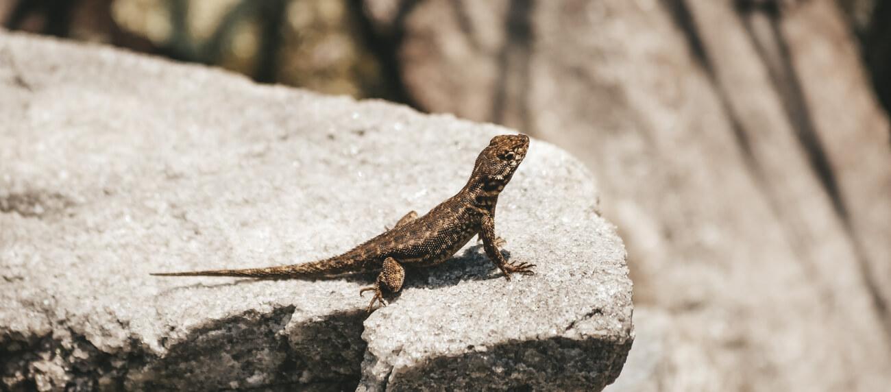 Espécie de lagarto fotografado no Parque Estadual do Ibitipoca