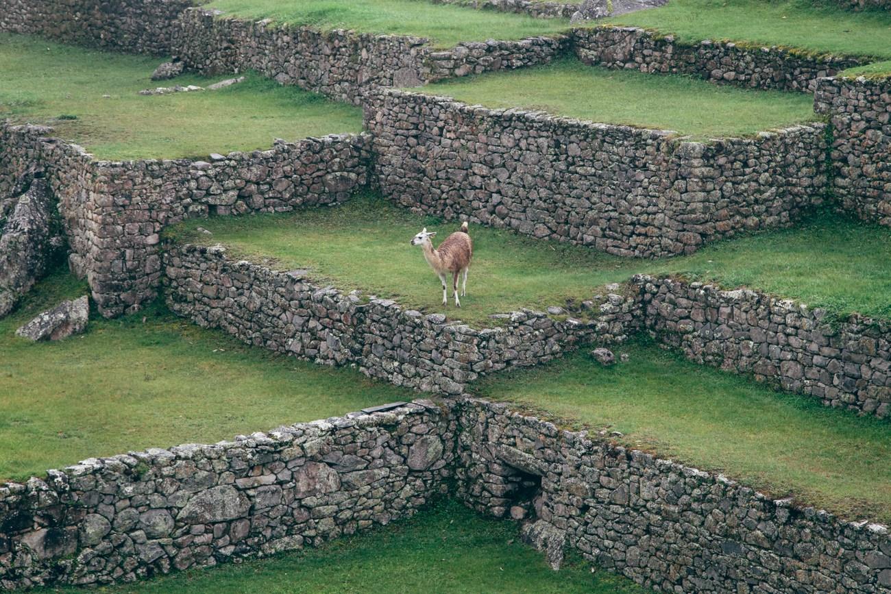 Uma das várias lhamas de Machu Picchu