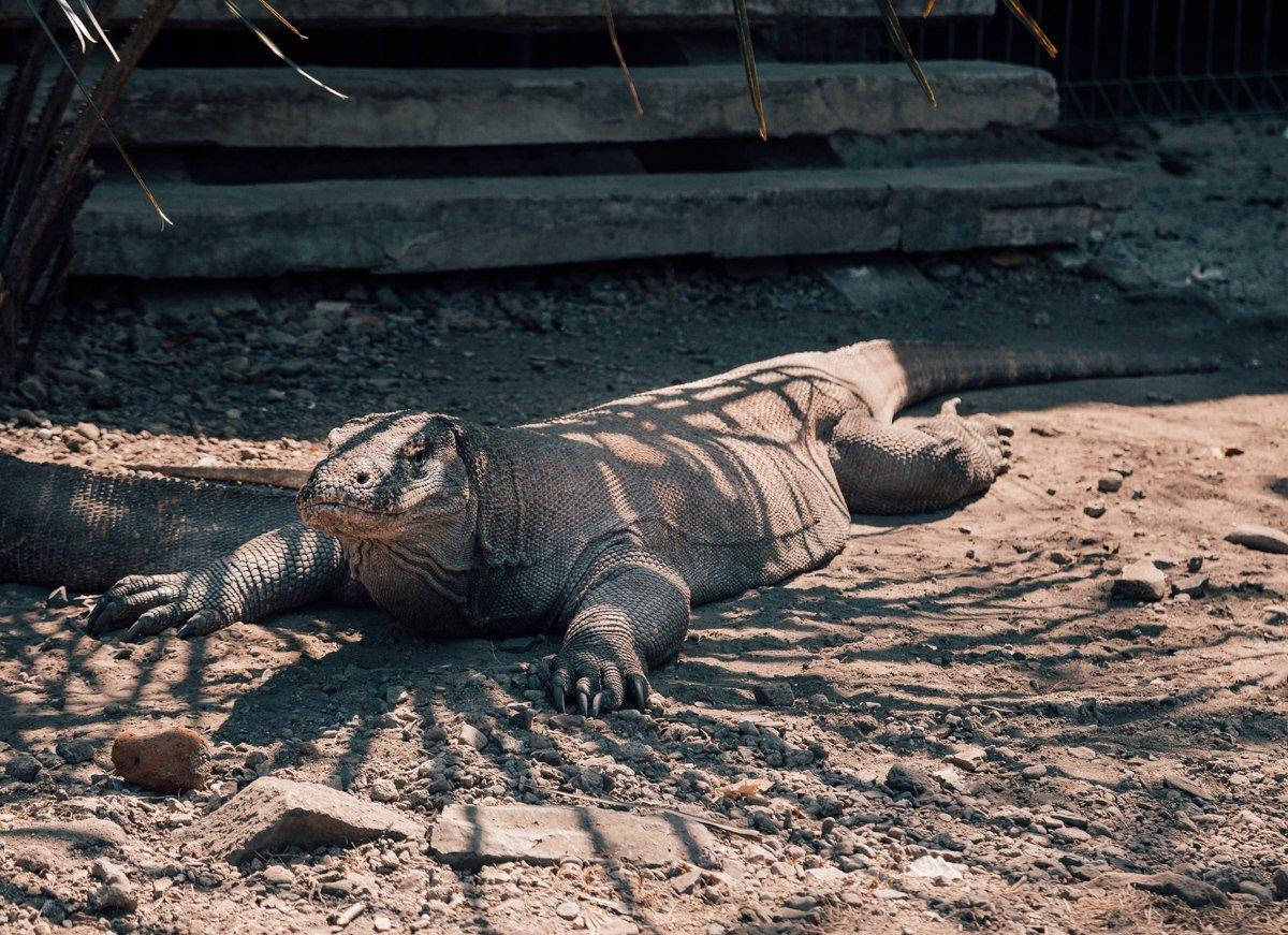Dragão de Komodo, Indonésia