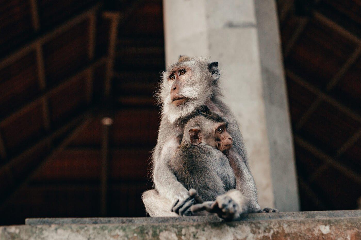 Monkey Forest - mamãe macaco e seu filhote