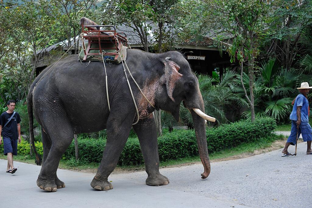 Elefante com cadeira de passeio