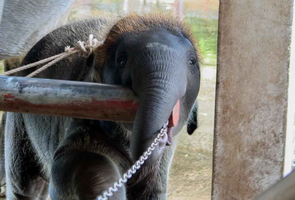 Pequeno elefante acorrentado no Roses Garden em Bangkok