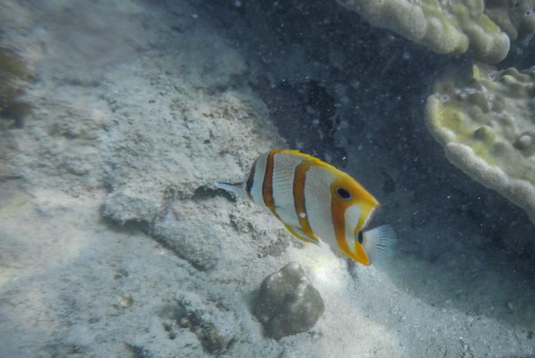 Peixe borboleta em Paradise Island