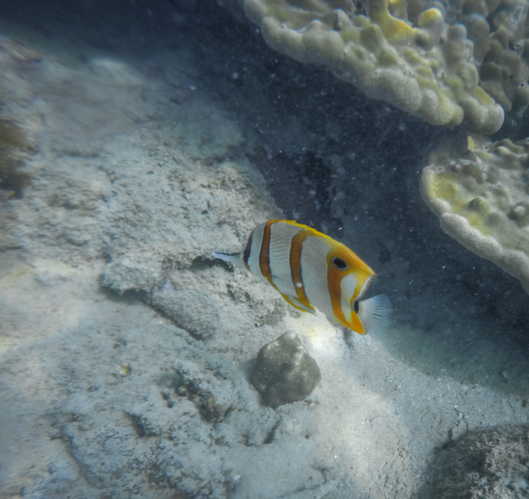 Hong Island - snorkel - peixe borboleta