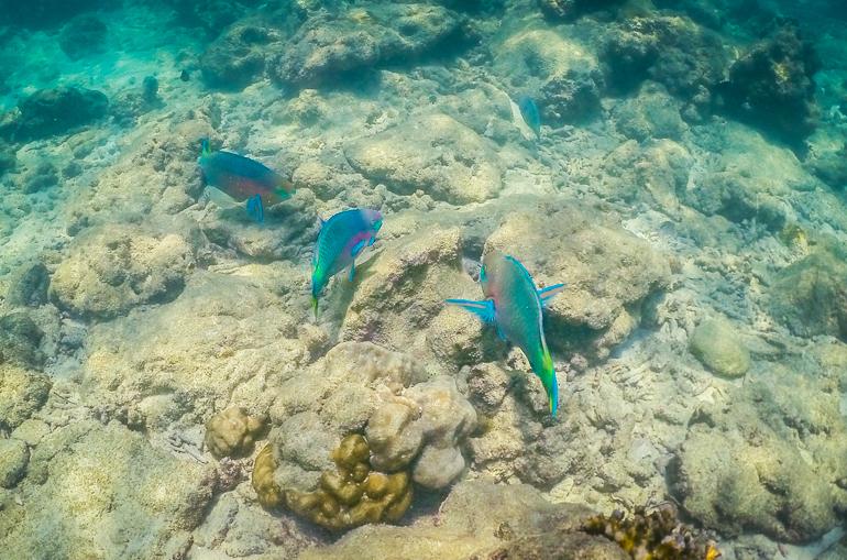 Peixes-papagaio em Hong Island