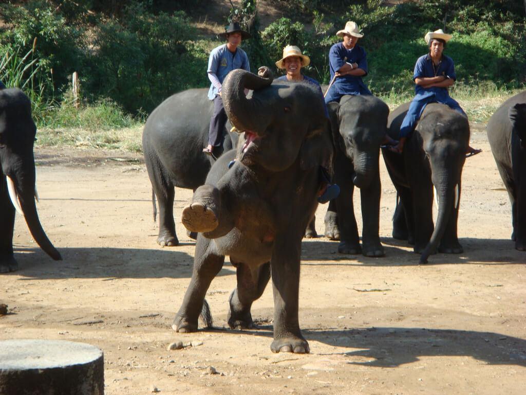 """""""Show"""" com elefantes"""