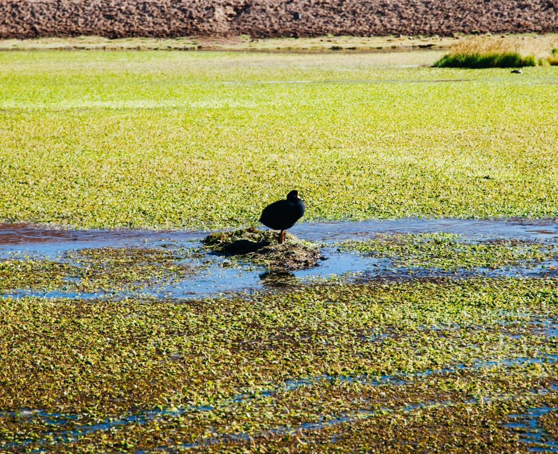 Geysers el Tatio - tagua cornuda, uma das espécies de aves que habitam o Atacama
