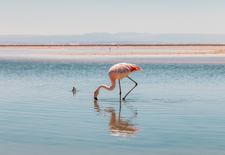 Flamingos fotografados na Laguna Chaxa