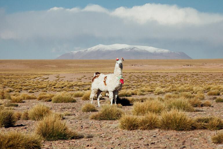 Lhama | Viajando na Janela