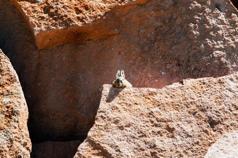 Viscacha: um pequeno roedor parecido com coelho.