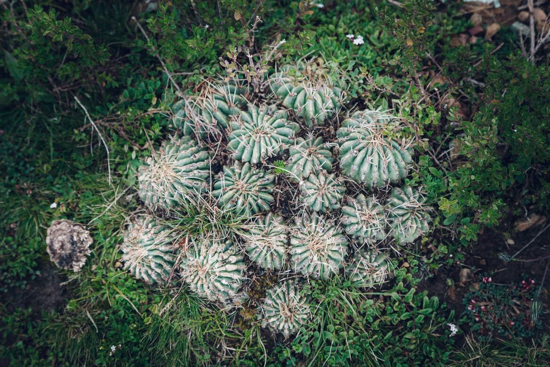 Isla del Sol - plantas
