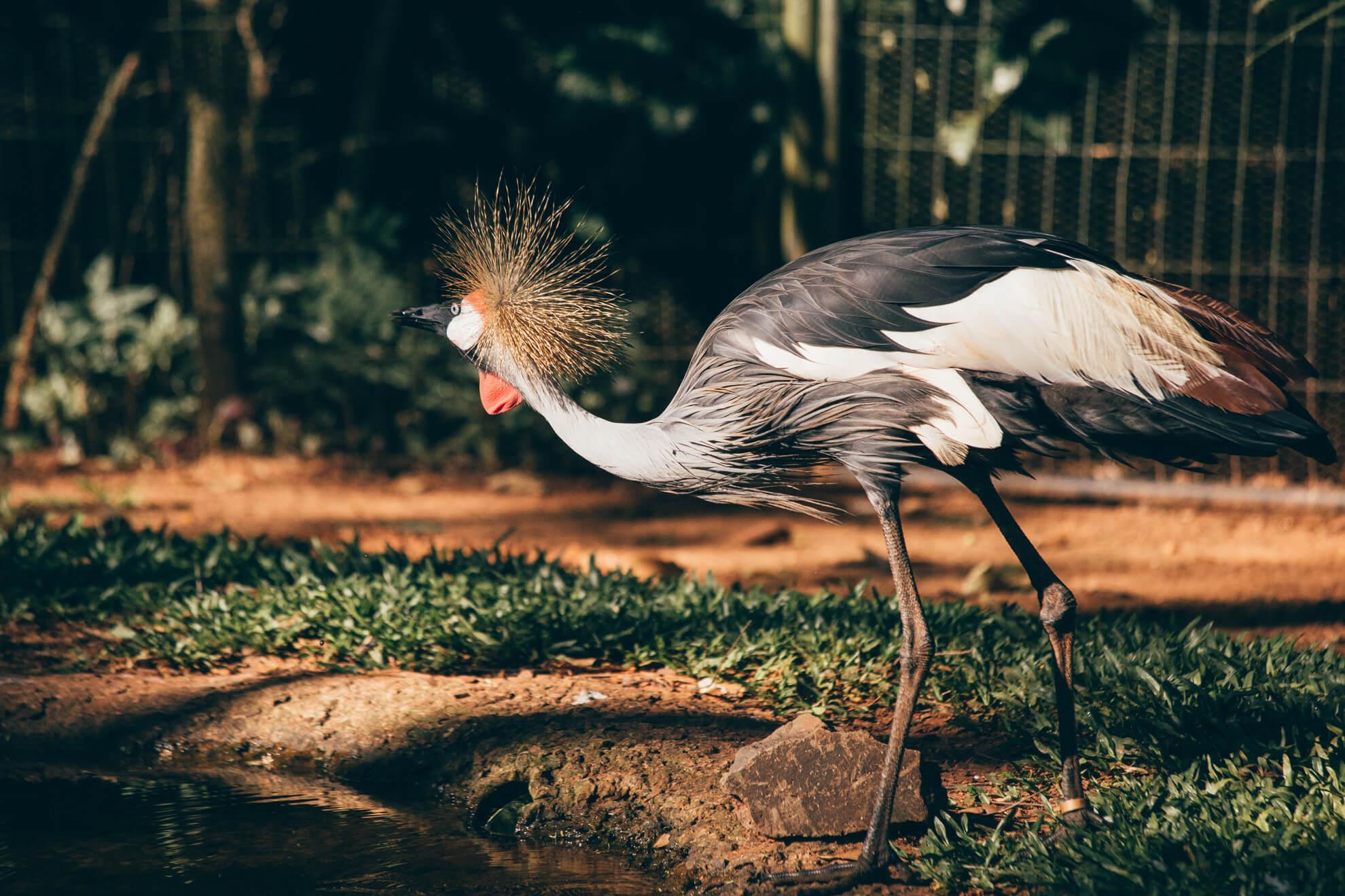 Grou-coroado - Backstage Experience, Parque das Aves