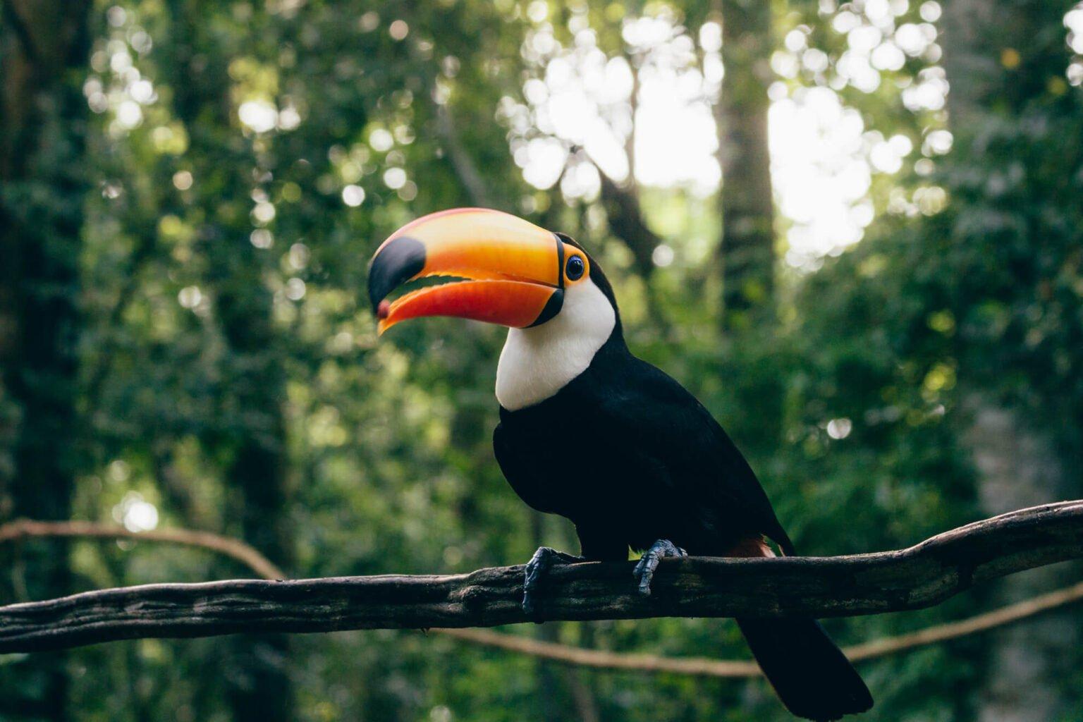tucano-toco - Backstage Experience, Parque das Aves