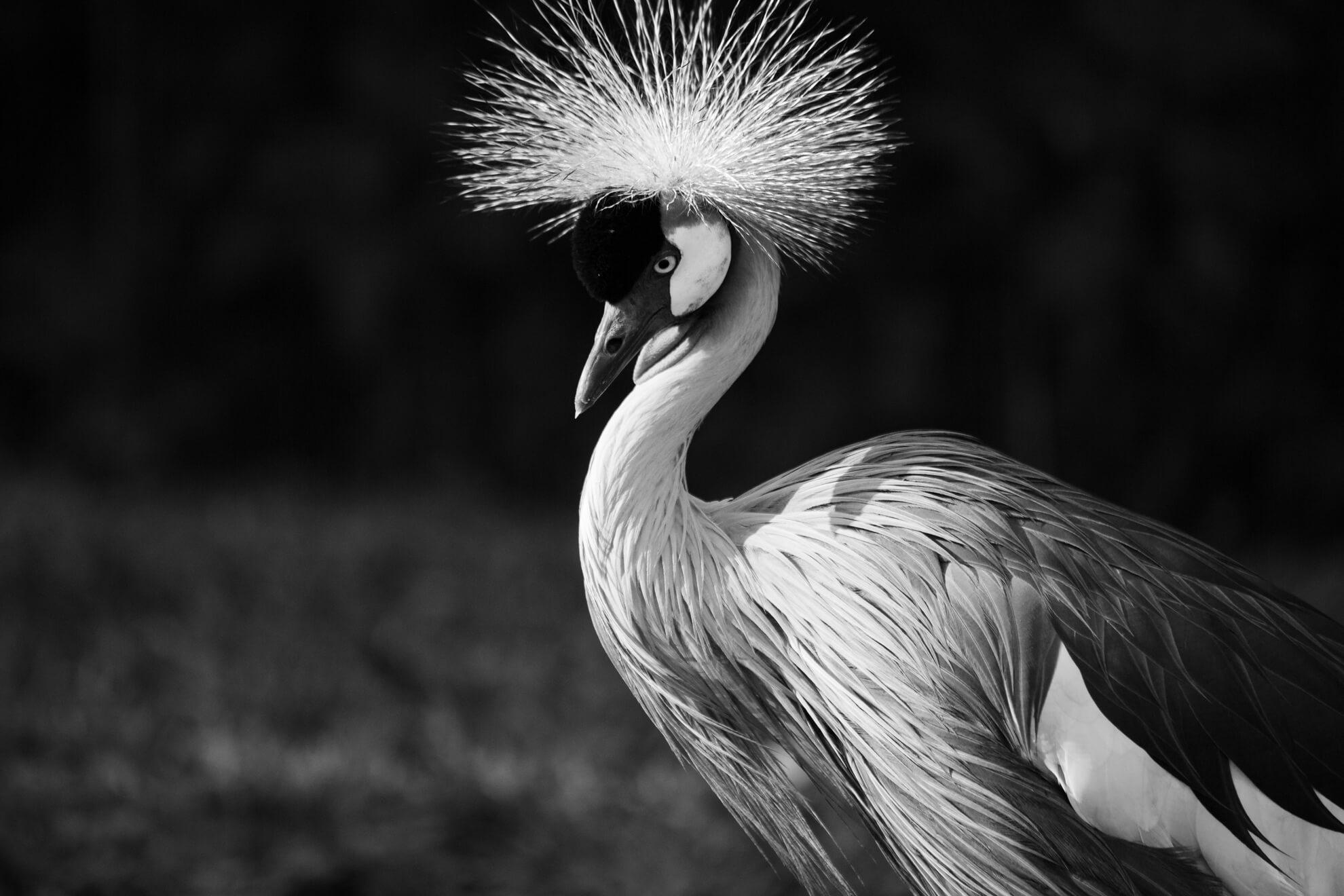 Parque das Aves, Foz do Iguaçu | grou coroado