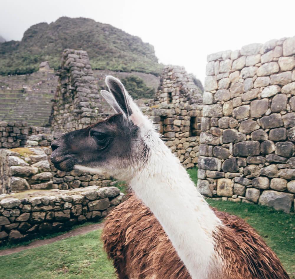 Lhaminha em Machu Picchu