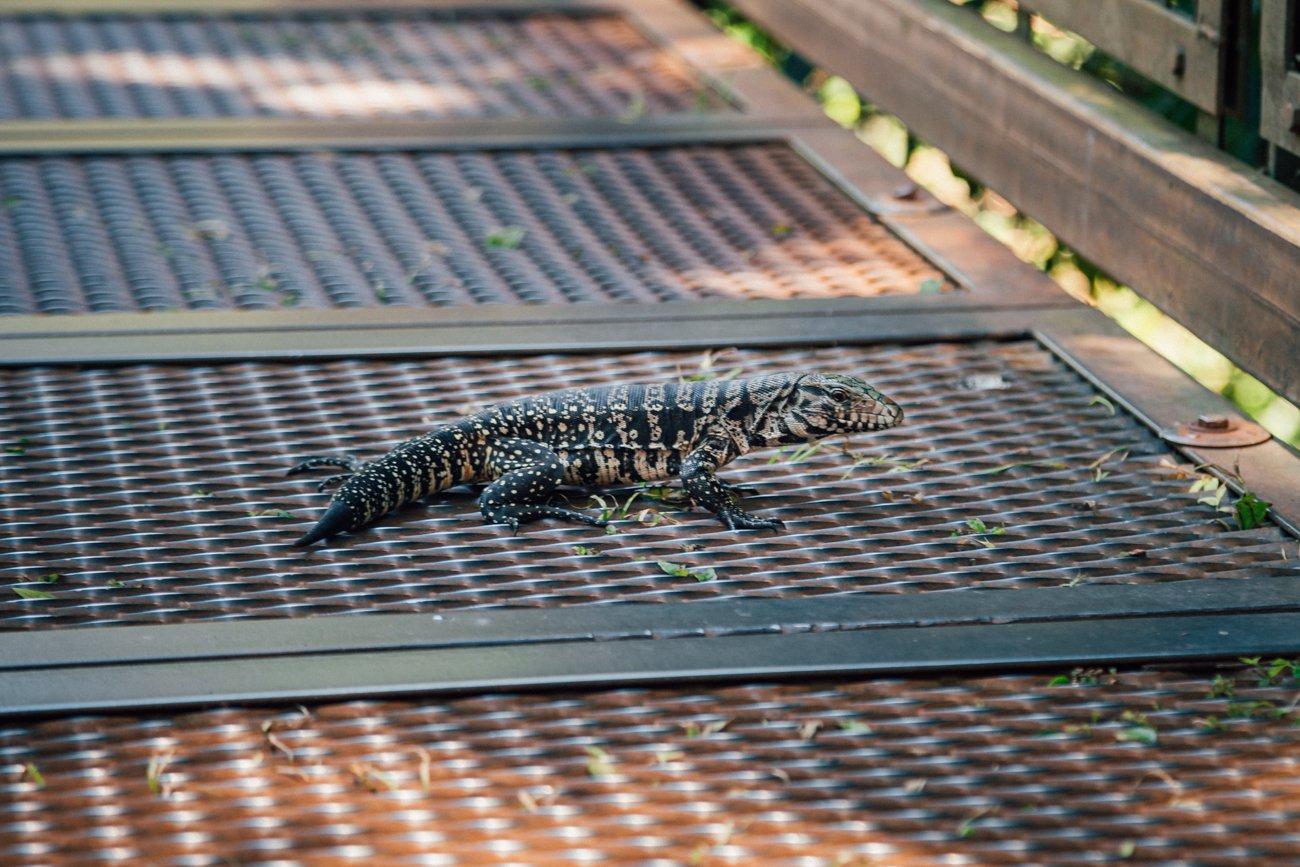 Um lagartinho tranquilo :) - Cataratas Argentina