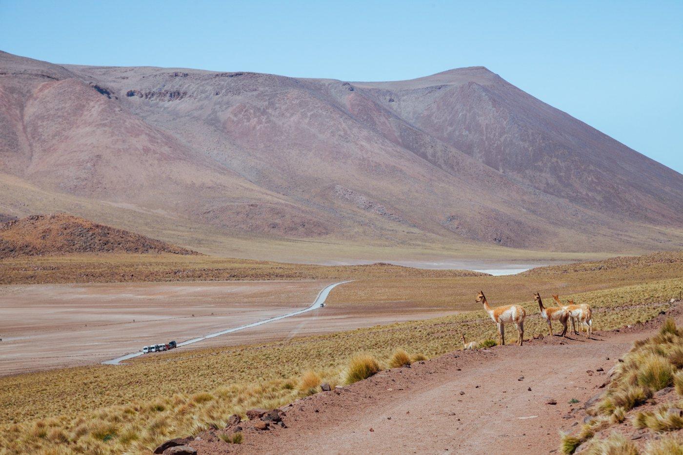 Vicunhas são animais bem comuns no Atacama