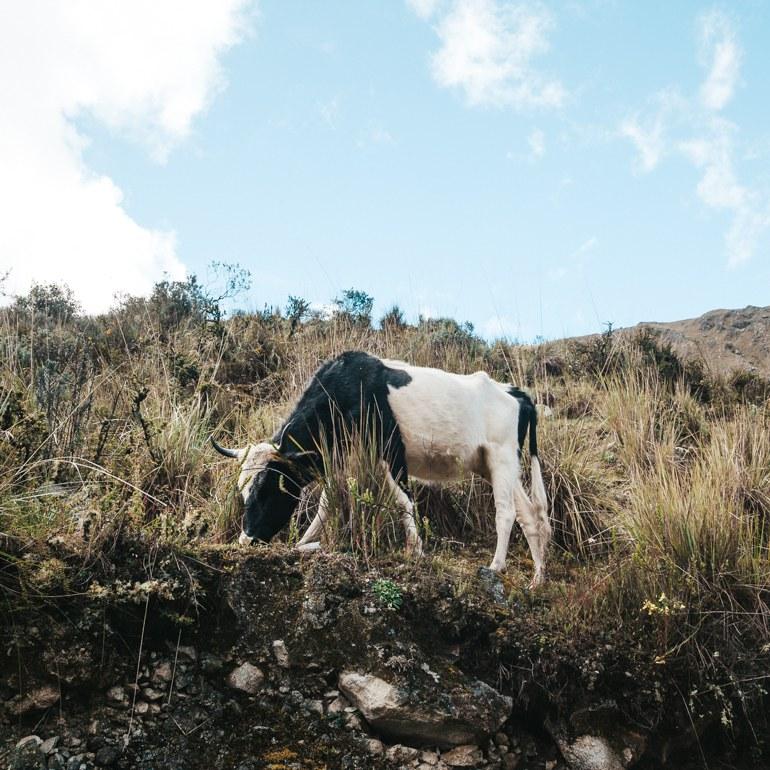 Na trilha é bem comum encontrar várias vaquinhas