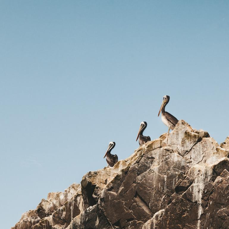 Ilhas Ballestas: pelicanos