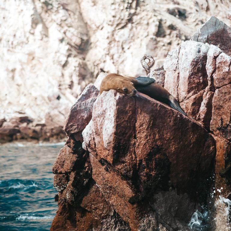 Ilhas Ballestas: lobo marinho