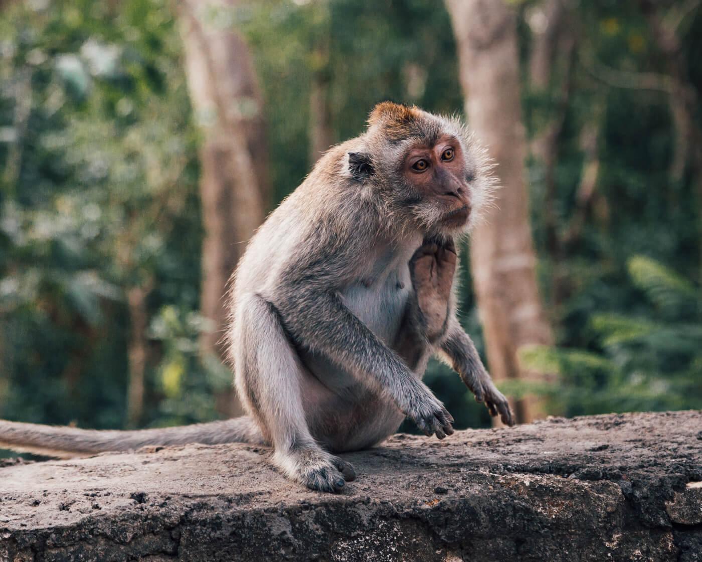Kecak Dance, Uluwatu, Bali, Indonésia - macaco no templo