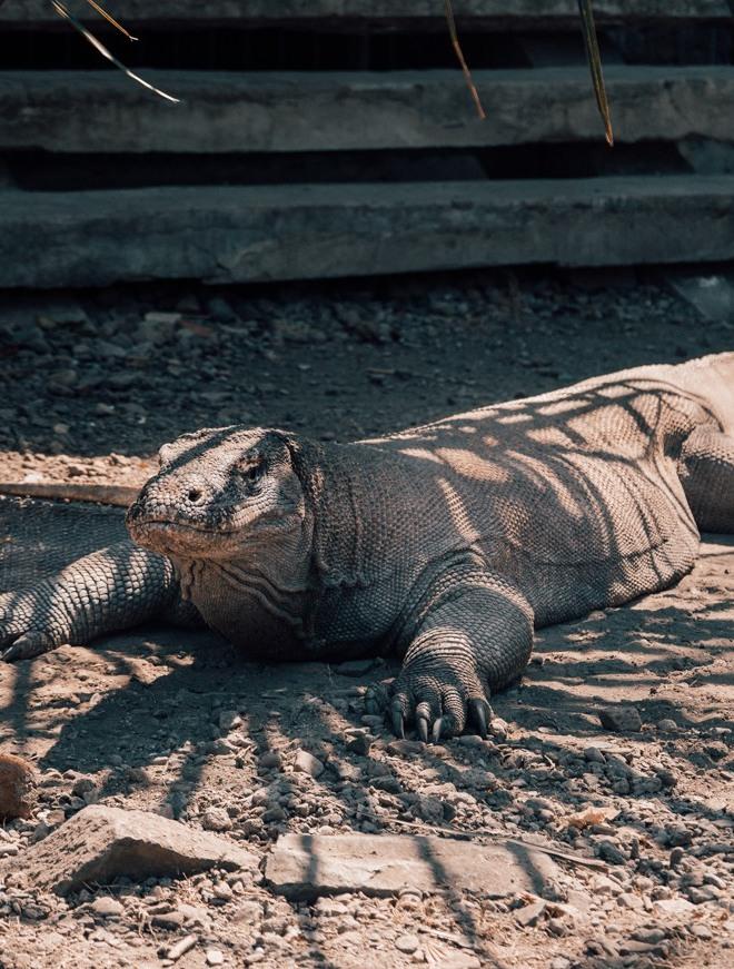 Roteiro Indonésia - Dragão de Komodo