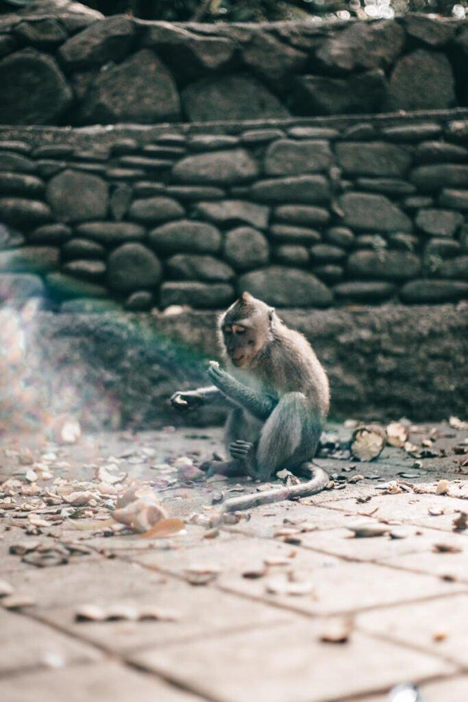 Monkey Forest, Bali - macaco com comida