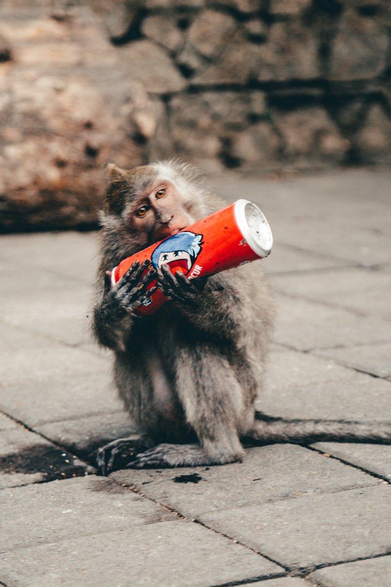 Monkey Forest, Bali - macaco com refrigerante roubado