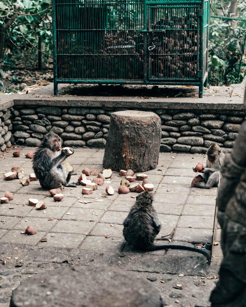 Monkey Forest, Ubud - Macacos se alimentando