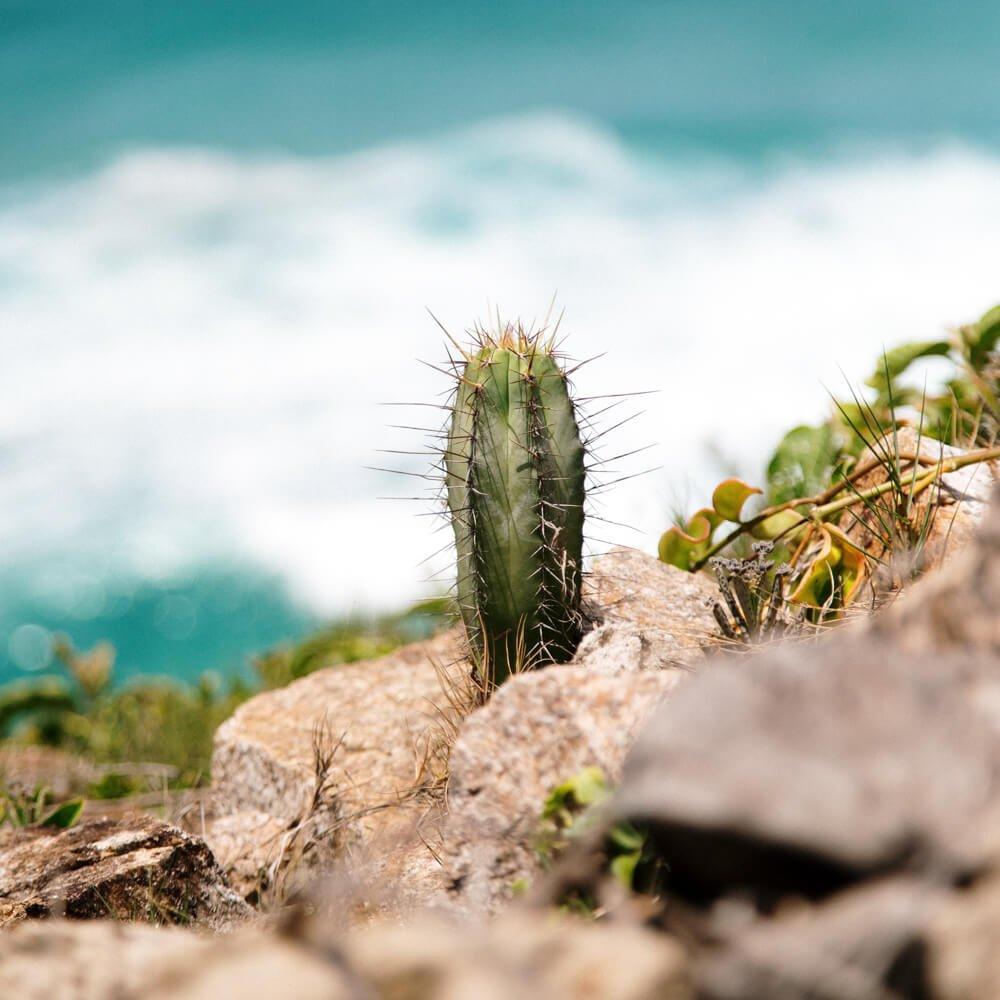 Cacto fotografado no caminho para a Praia Brava