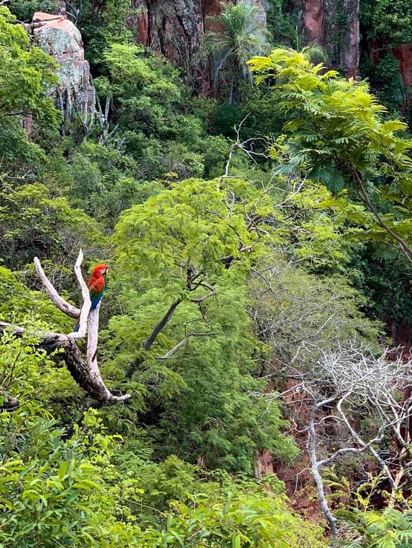 Arara vermelha em árvore do Buraco das Araras