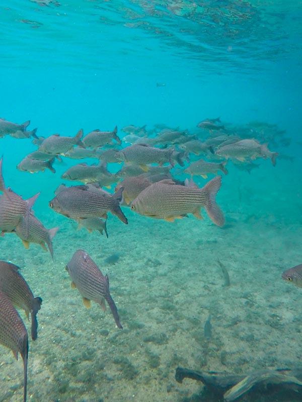 Cardumes gigantes de peixes na água azul do Rio da Prata em Bonito