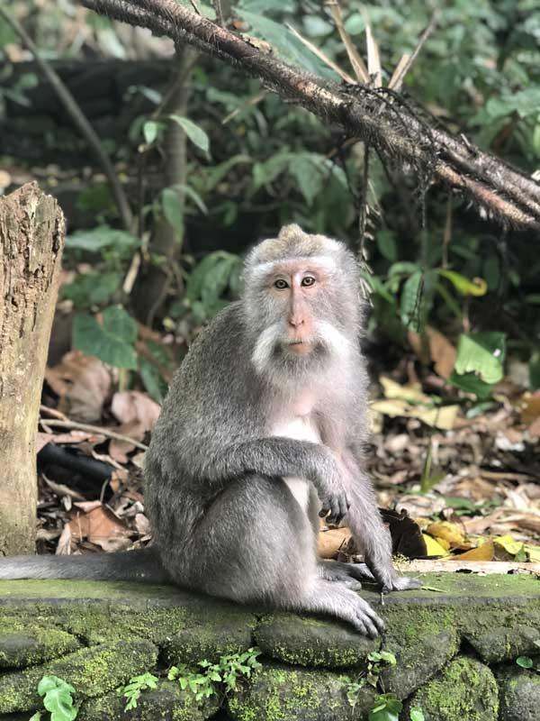 Macaco Caranguejeiro, muito comum na Ásia.