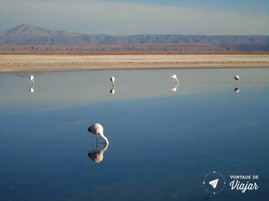 Deserto do Atacama - Flamingos no deserto - foto Caroline Pereira