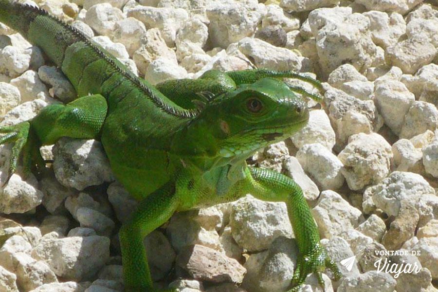 Lagartos e iguanas estão por toda a ilha