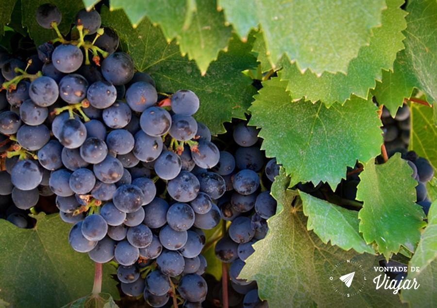 Mendoza - Uvas na vinicola argentina