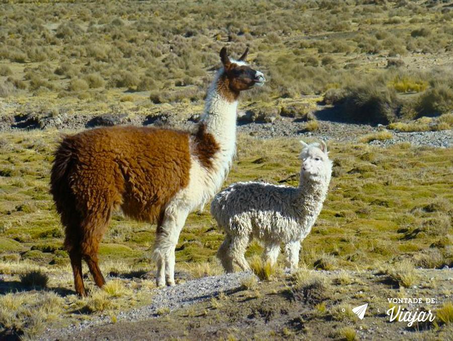 Machu Picchu - Lhama e alpaca no Peru - foto Felipe Venetiglio