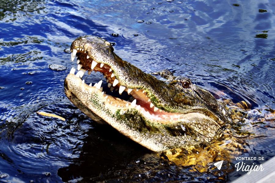 florida-crocodilo-no-parque-de-everglades