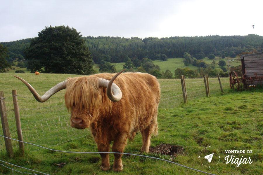 Escocia - Gado tipico das Highlands
