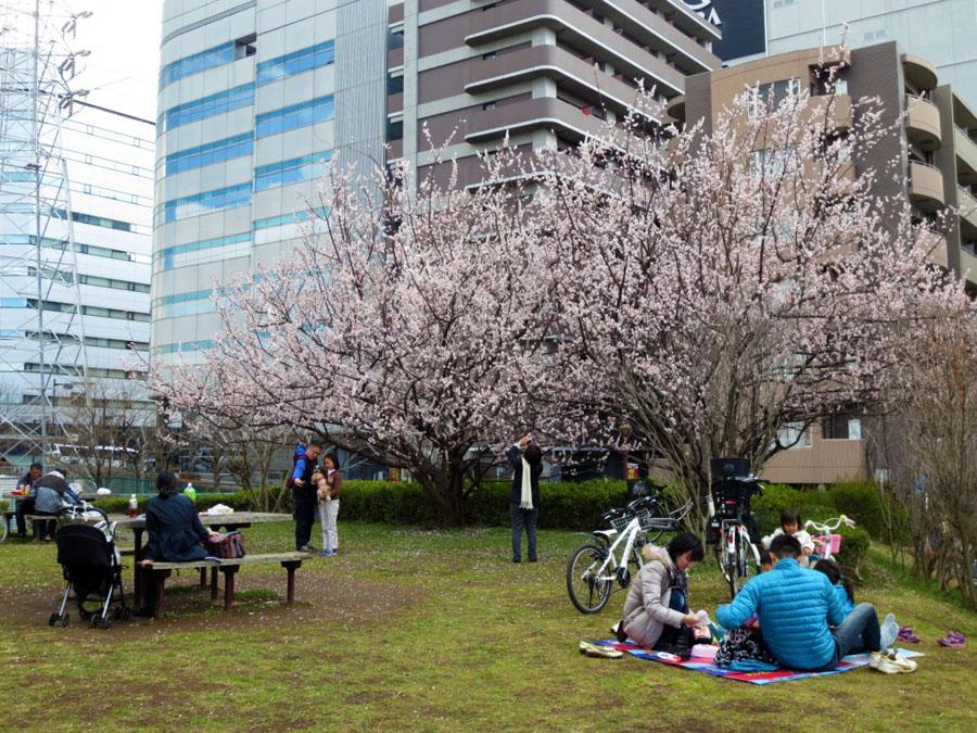 Roteiro Japao - Flores de sakura