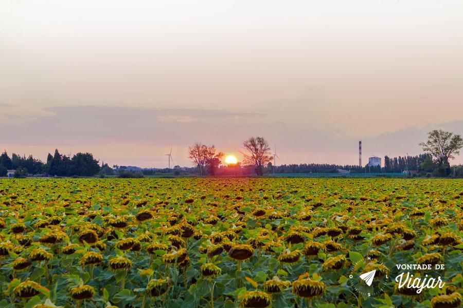 Van Gogh em Provence - Campos de girassol
