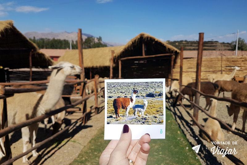 Foto Phosfato de Lhamas e alpacas em Cusco Peru